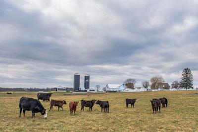 Cattle farm