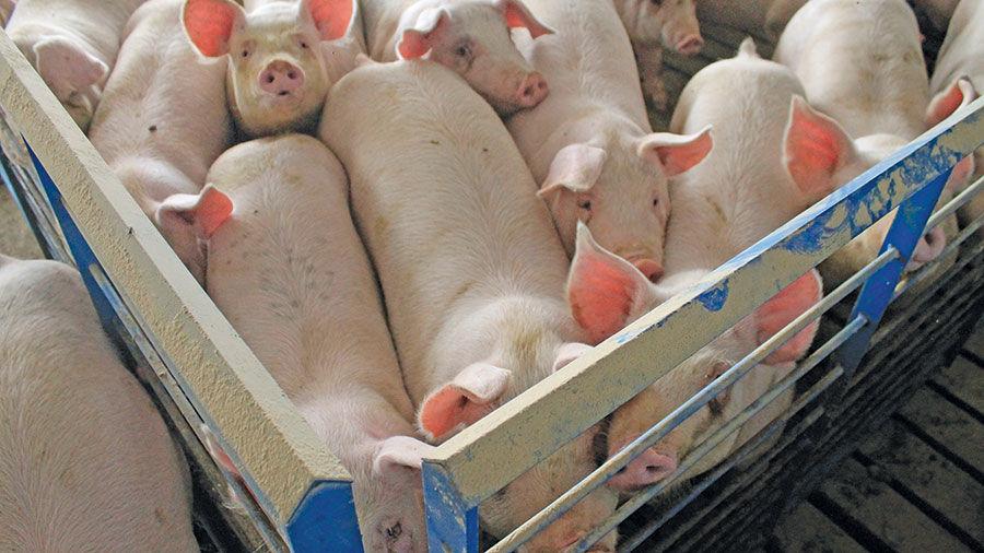 Stout pigs
