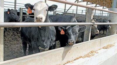 Cattle feed costs