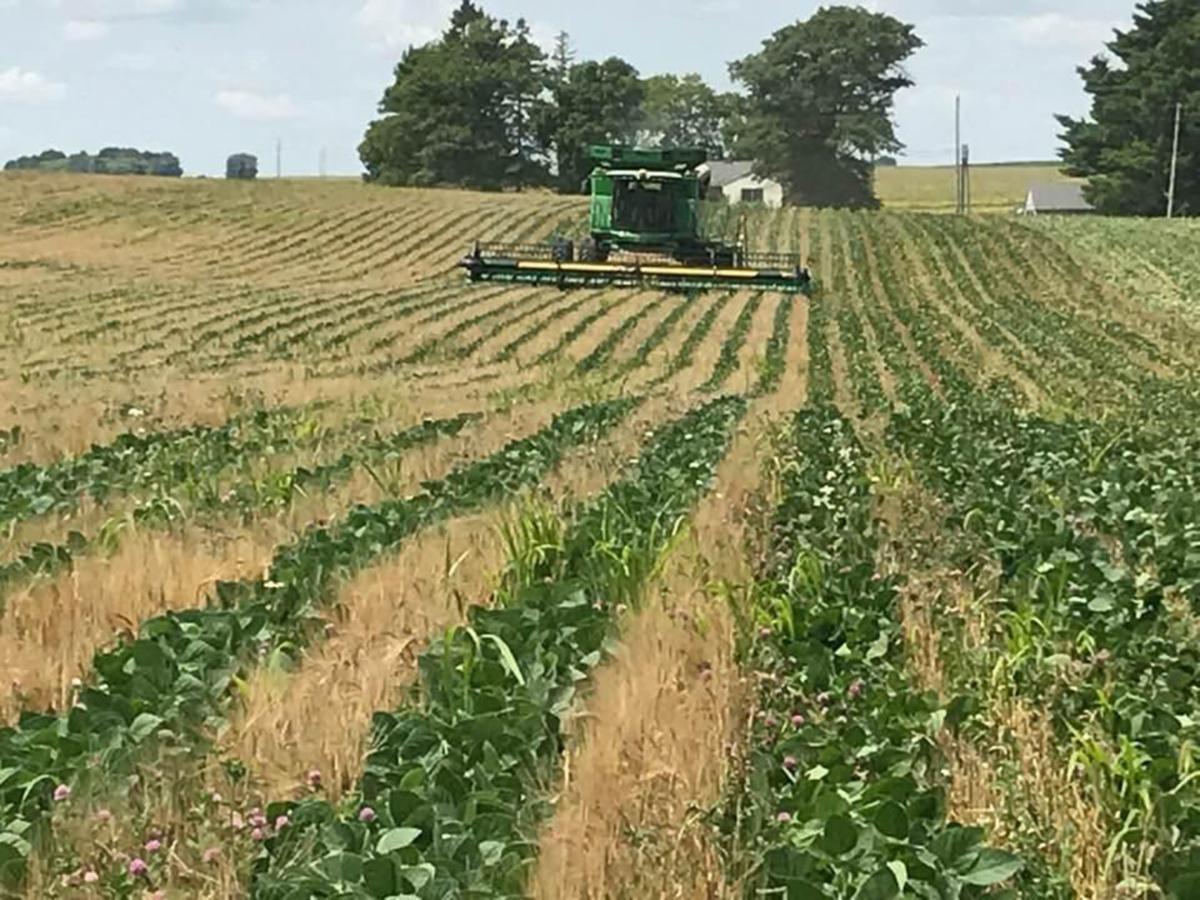 Relay crop harvest