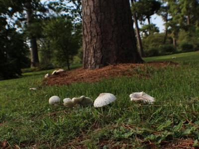 Mushrooms in lawn