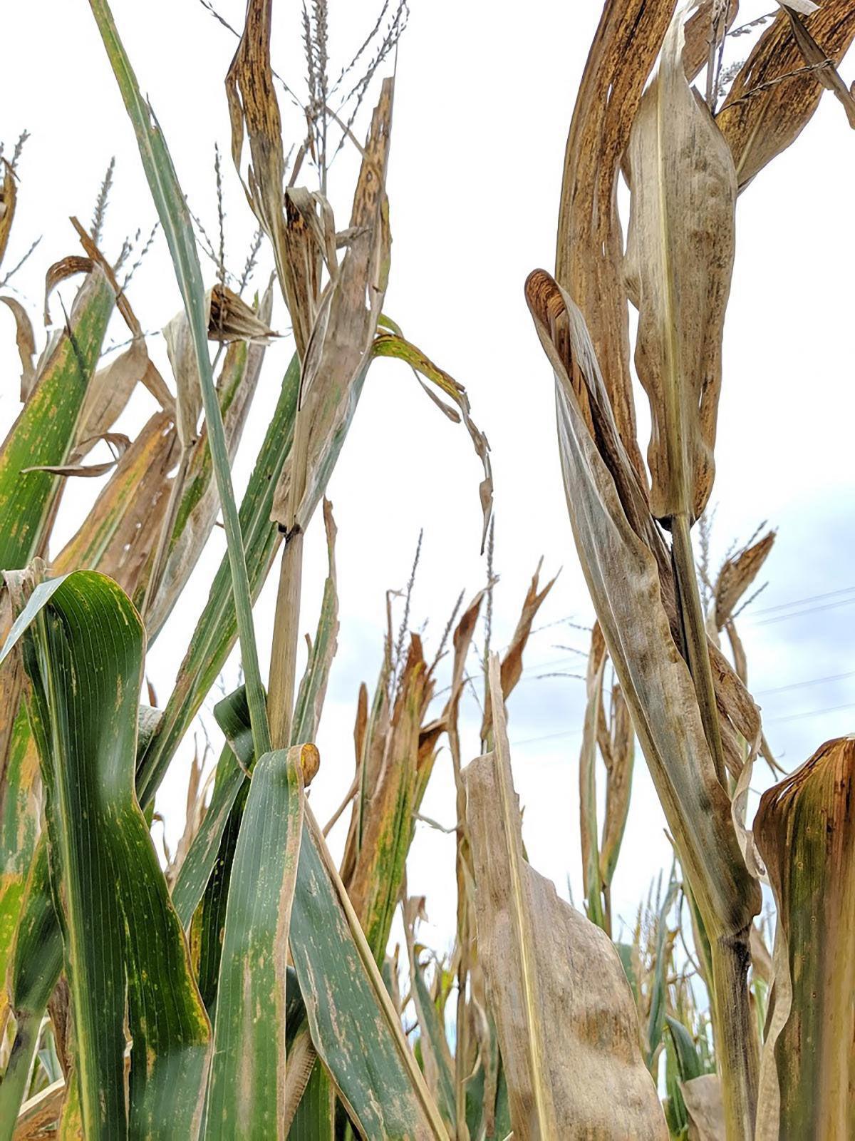 Corn plants exhibit symptoms of top dieback