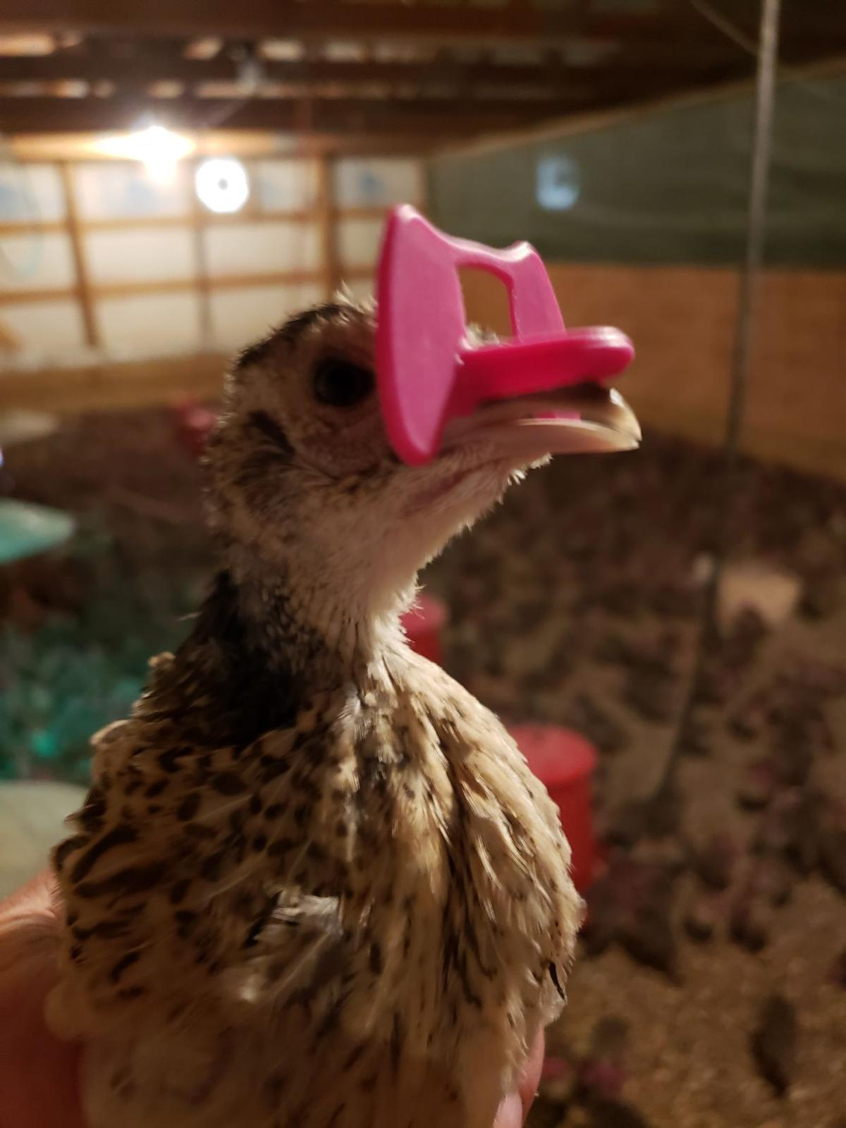 pheasant with blinders