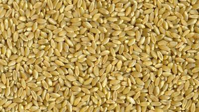 Durum USDA photo (0325)