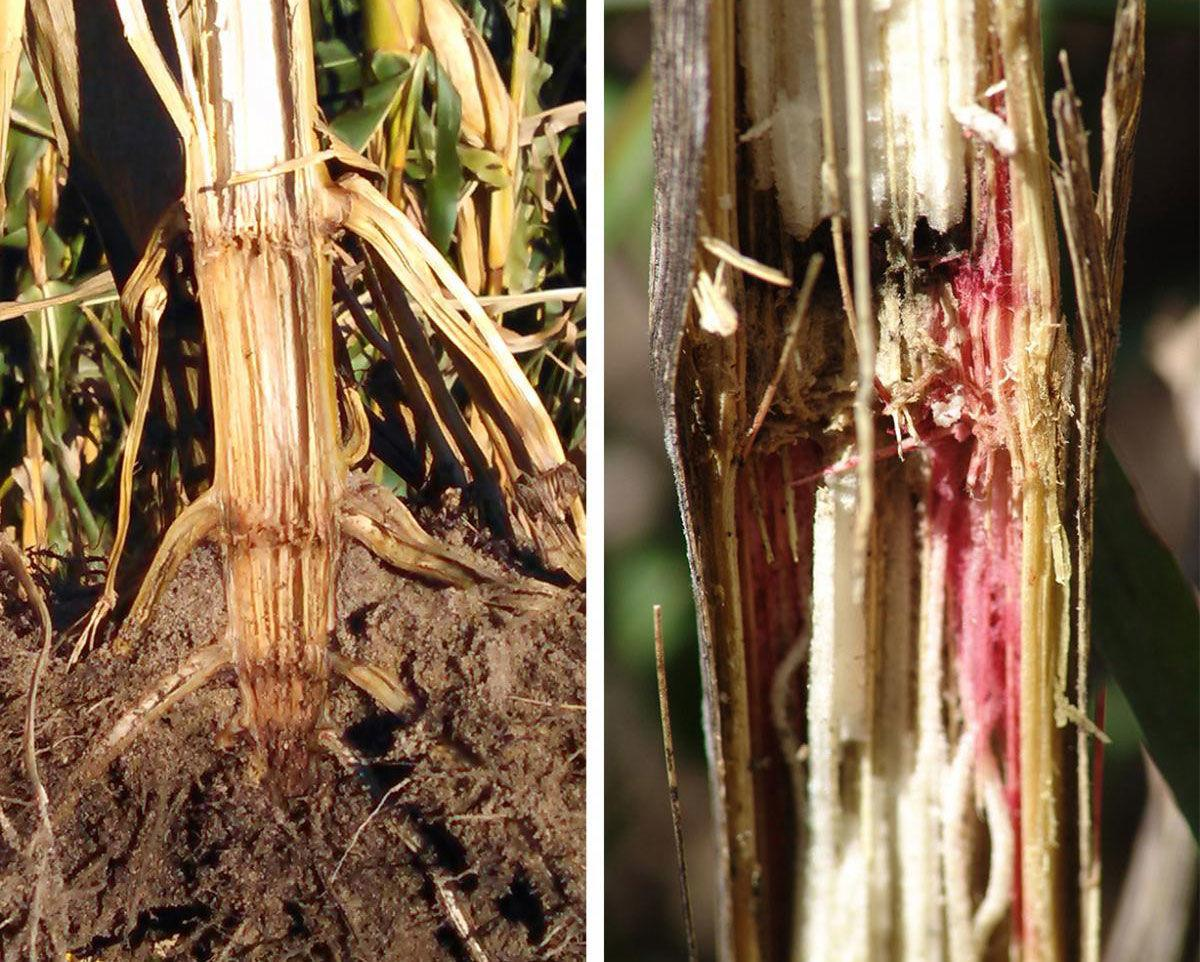 Stalk lodging and rot
