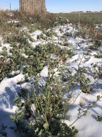 Alfalfa in snow