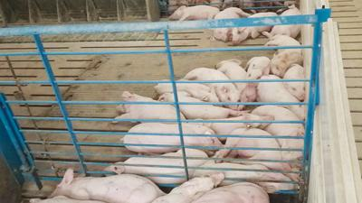 Group of pigs lying alongside one another in a wean-to-finish facility.