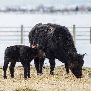 Small cow/small calf Montana (copy)