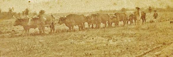 A sod-breaking plow is pulled by five yoke of oxen
