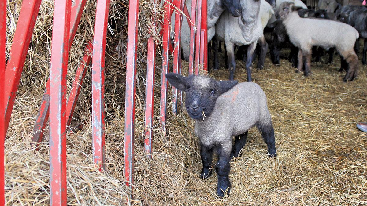 Lamb file photo