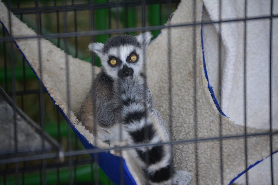 Lemur -- Sawyer County Fair