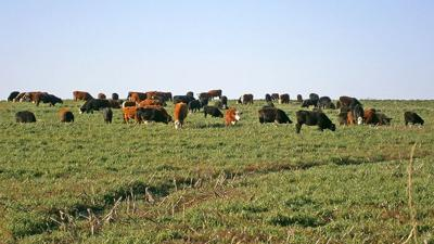 Cover crop with cattle