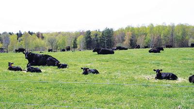University Minnesota beef herd 2019