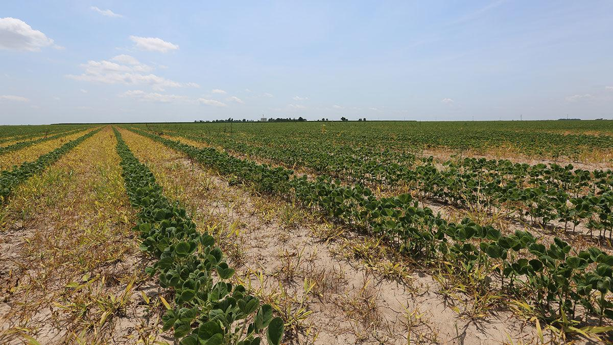 drift damage from dicamba