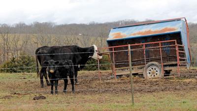 Cow calf nutrition