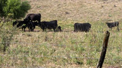 Drought pasture grazing