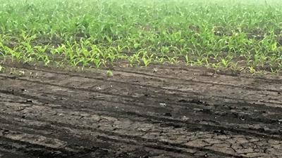 Weather challenge compact soil and emerging corn