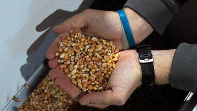 Seed corn selection