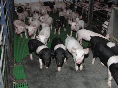 Wean pigs