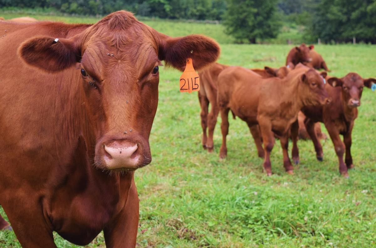 Red Angus cow and heifers