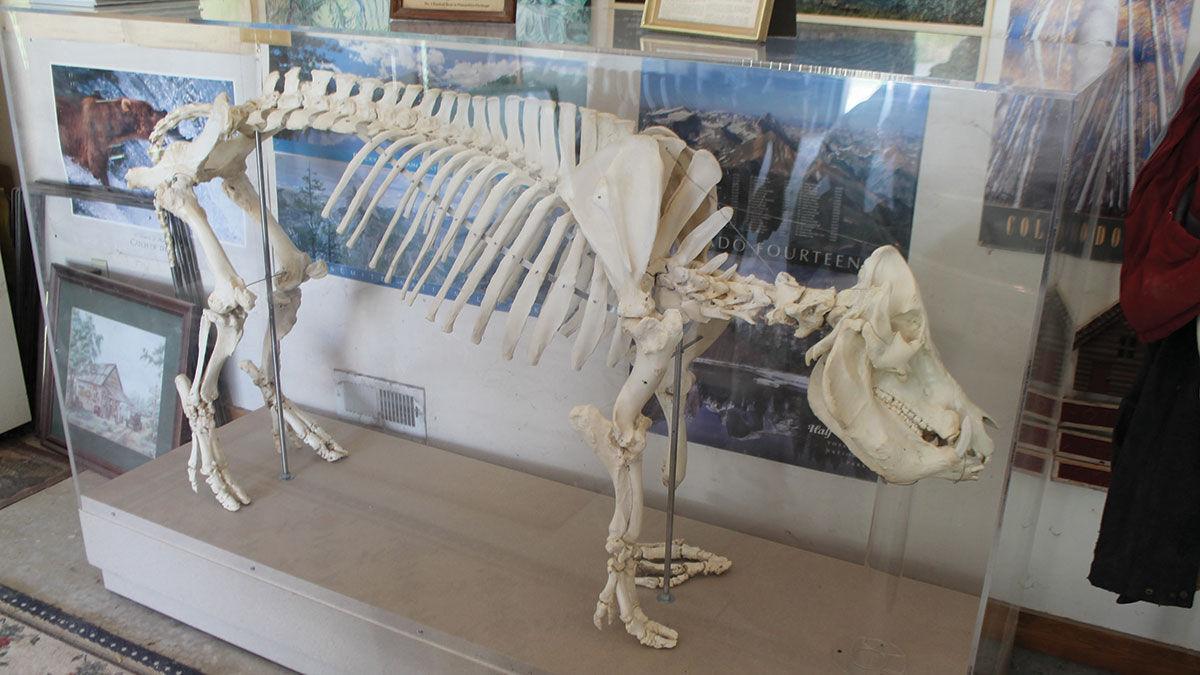 skeletal display of Roughneck