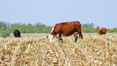 Cow grazing cornstalks