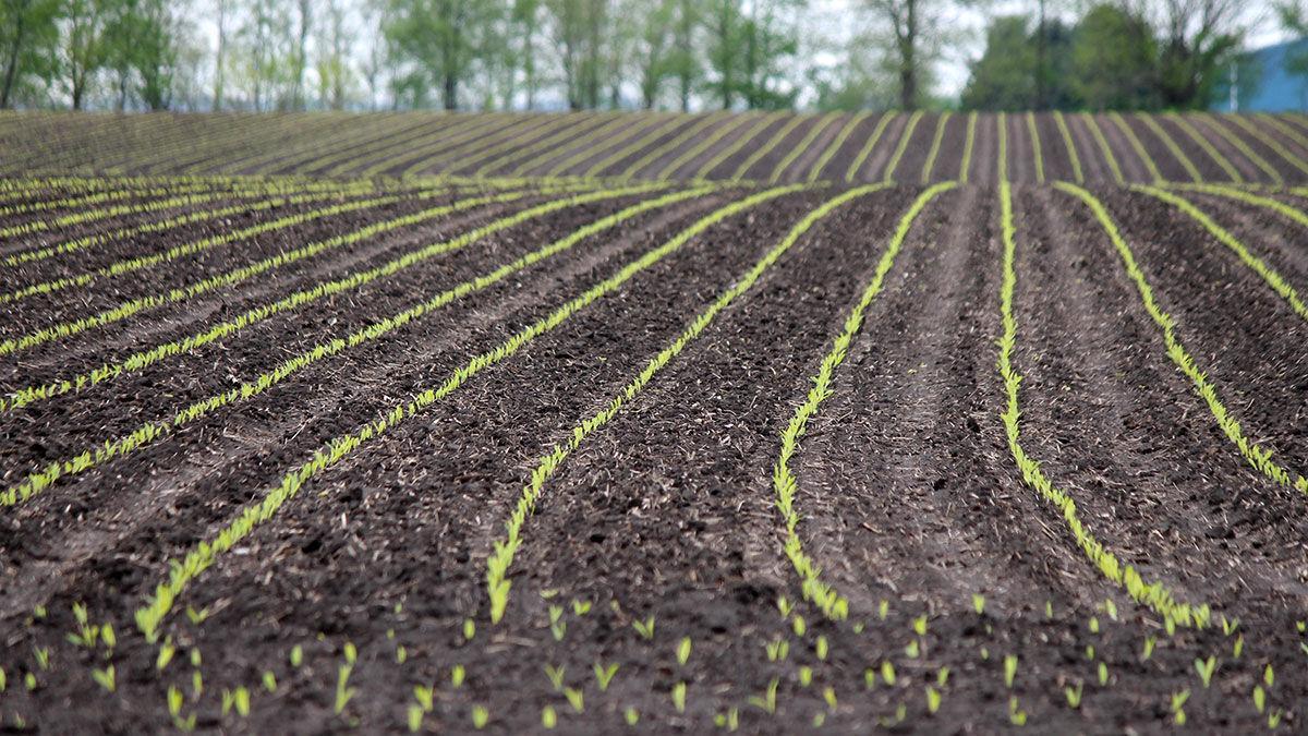 Emerging corn