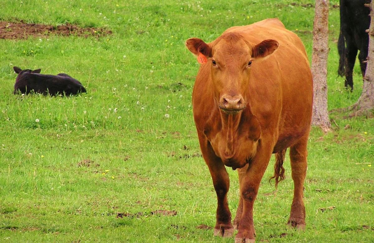 Cow stands in field