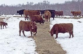 feeding hay