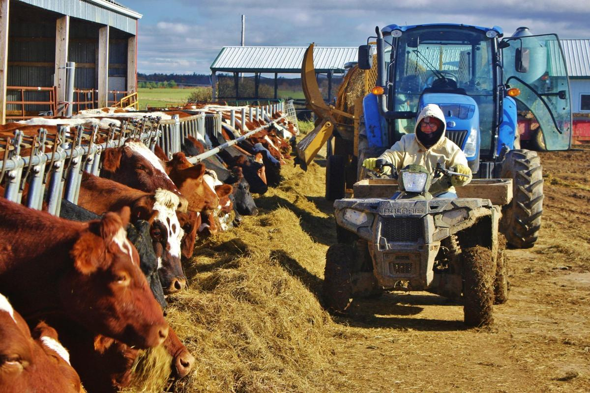 Dairy cows eating with Wendy Galbraith