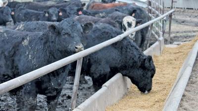 Cows eat DDG