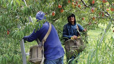 Migrant workers from Mexico pick peaches at a southern Illinois orchard