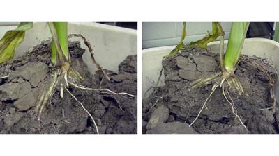 Side-by-side corn roots