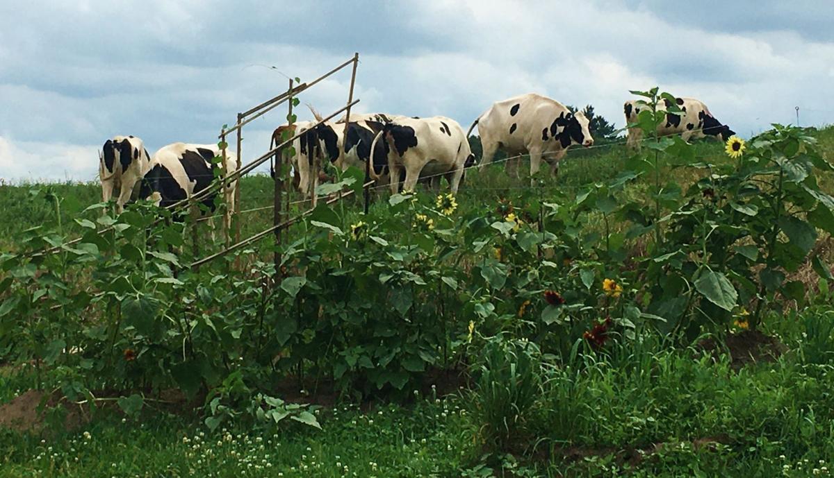 Holsteins graze at Gasser Farm