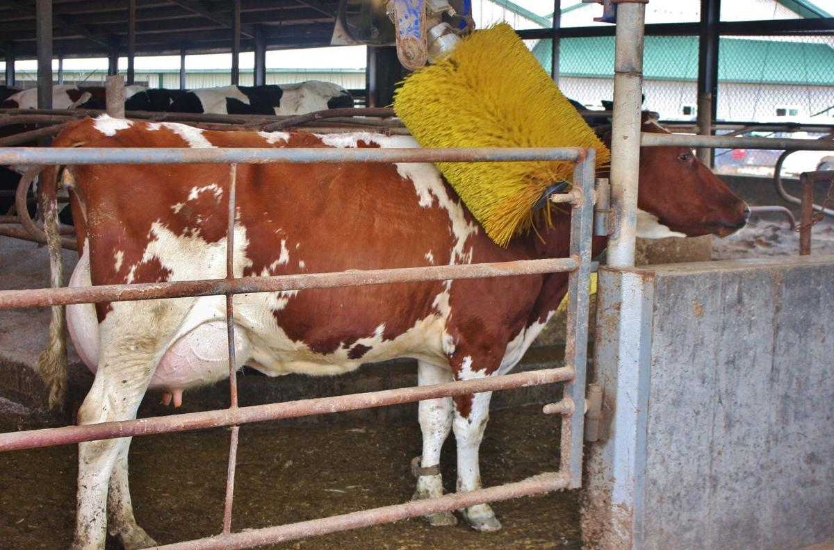 Red and White Holstein enjoys a brushing