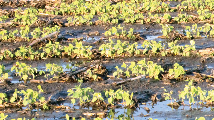 Soybeans in standing water