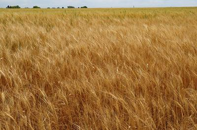 Organic wheat: K-State joins Heartland Plant Innovations, others to explore breeding platform
