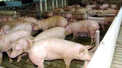Hog weights