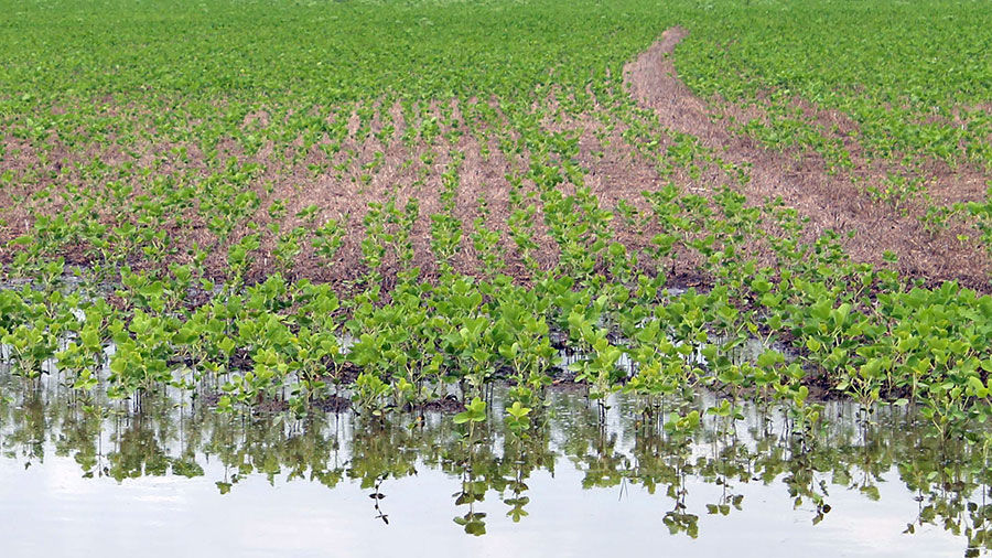 Young soybeans with standing water