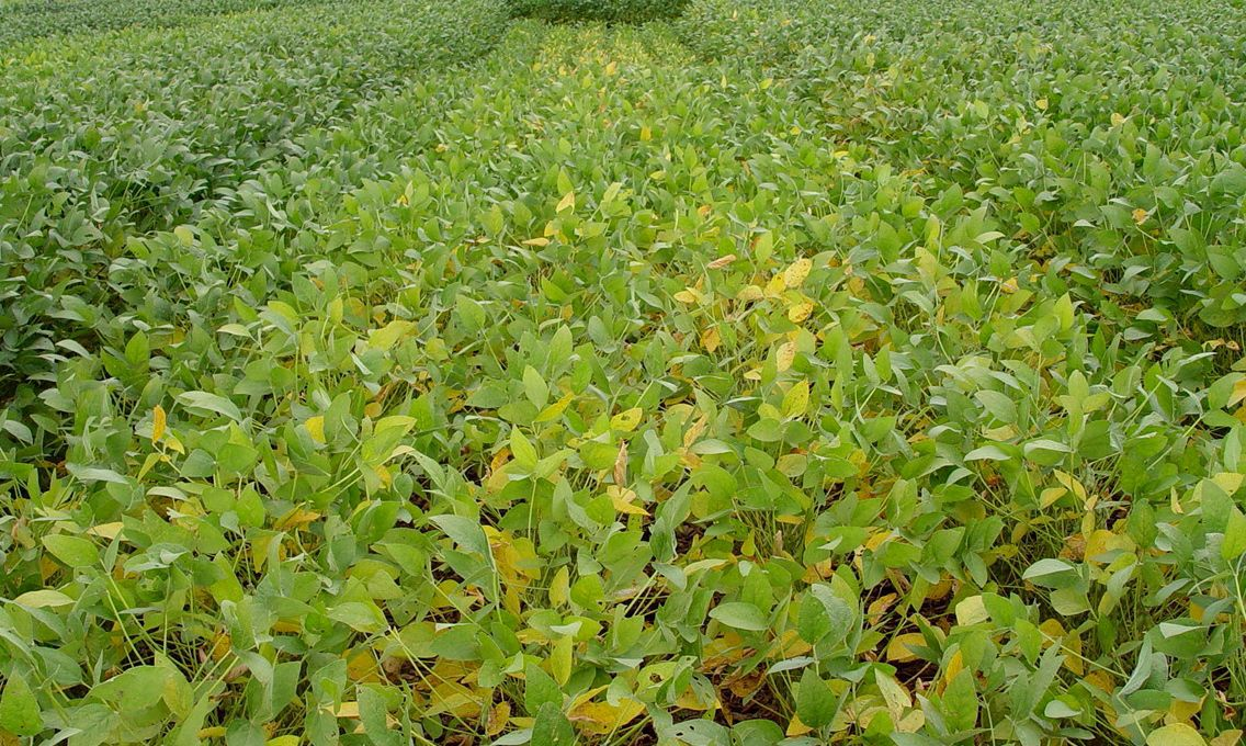 Sulfur importance increases | Crops | agupdate com