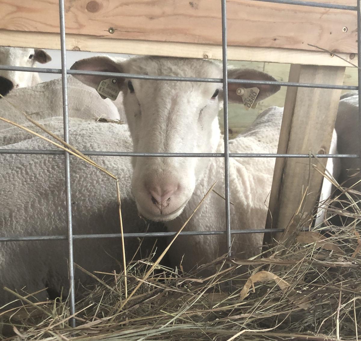 Schoenfeld ewe eating grass hay