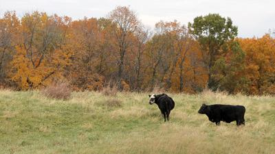 Fall grazing in Missouri