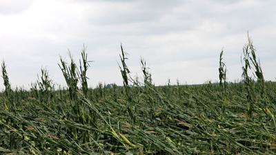 derecho damaged corn