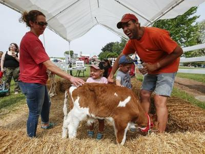 Visitors pet calf