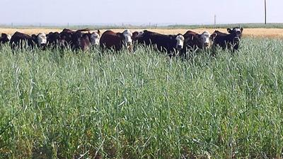 cattle grazing cover crop