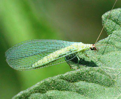 Adult green lacewing