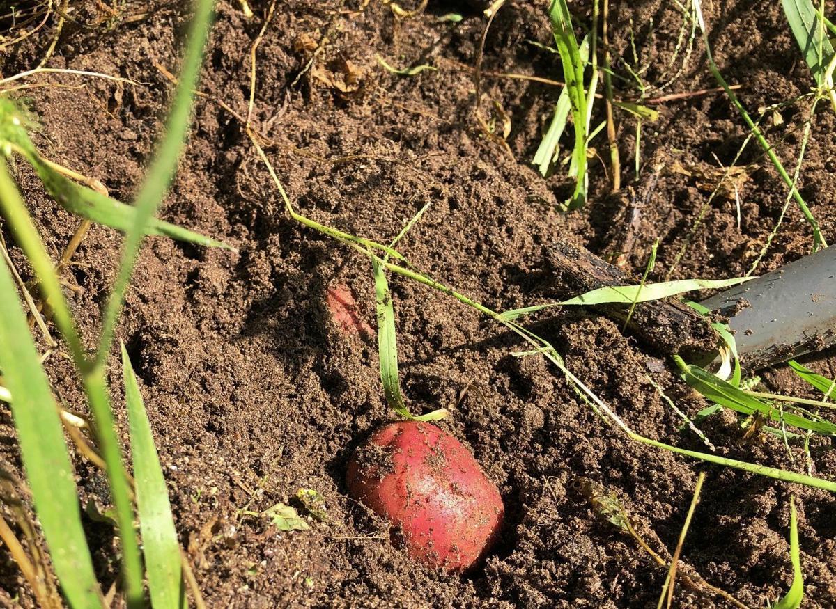 Potato sits in dirt