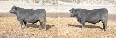 Good and bad cattle photography