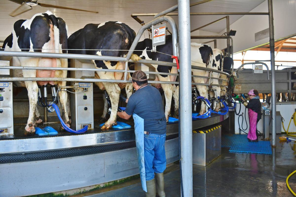 Workers at Hildebrandt Farms of South Beloit put milking machines on cows
