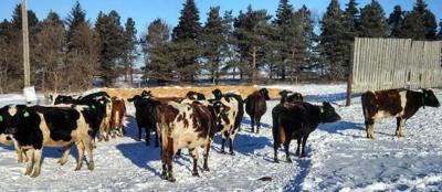 Cows outside with windbreak